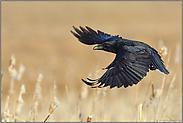 Balzflug... Kolkrabe *Corvus corax*