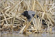 versteckt... Nebelkrähe *Corvus corone cornix*