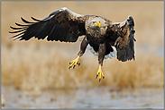 Anflug... Seeadler *Haliaeetus albicilla*