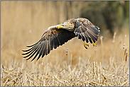 Einflug ins Schilf... Seeadler *Haliaeetus albicilla*