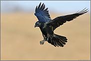 im Anflug... Kolkrabe *Corvus corax*