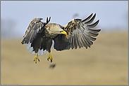 für einen Moment... Seeadler *Haliaeetus albicilla*