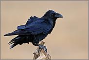 Gefährte der Wikinger... Kolkrabe *Corvus corax*