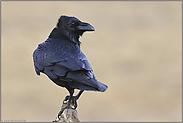 in Verruf... Kolkrabe *Corvus corax*