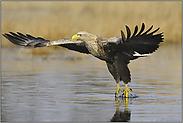 Wassertitscher... Seeadler *Haliaeetus albicilla*