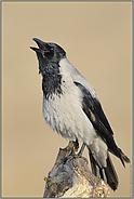 Morgenstund'... Nebelkrähe *Corvus cornix*
