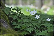 im Frühlingswald... Buschwindröschen *Anemone nemorosa*