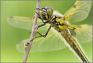 in Ruhestellung... Vierfleck *Libellula quadrimaculata*