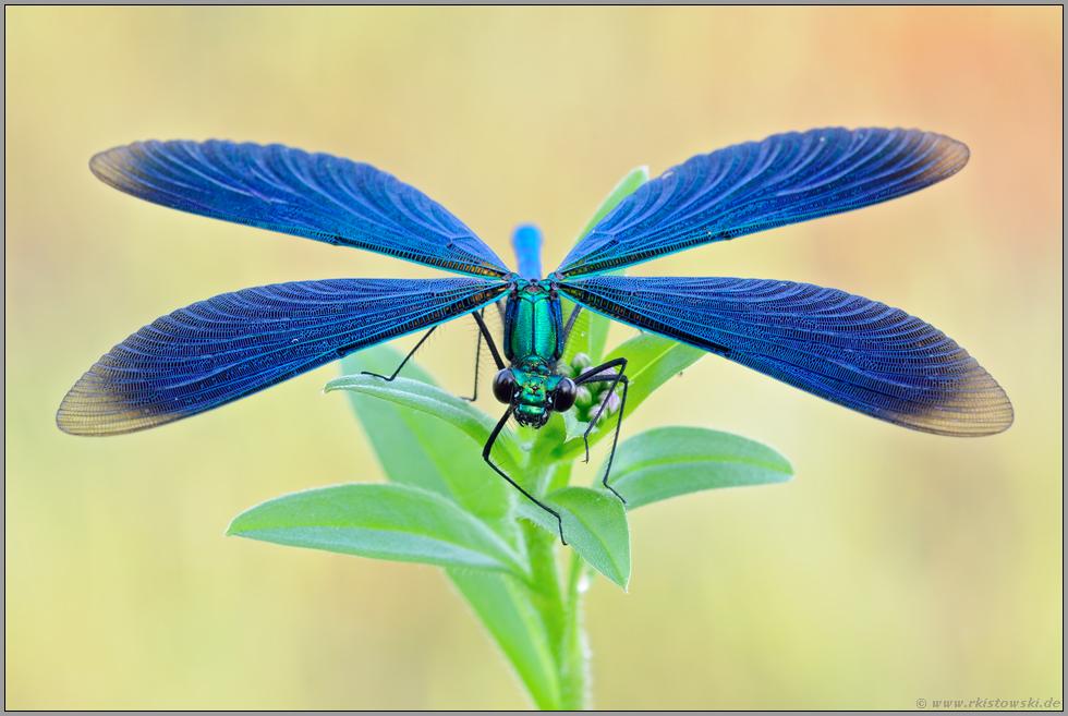 helikopter blaufl gel prachtlibelle calopteryx virgo. Black Bedroom Furniture Sets. Home Design Ideas