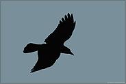 Silhouette... Rabenkrähe *Corvus corone*