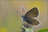 Farbenspiel... Rotklee-Bläuling *Polyommatus semiargus*