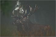 zwei Jägermeister... Rothirsche *Cervus elaphus*
