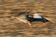 in motion... Nilgänse *Alopochen aegyptiacus*