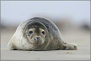 am Südstrand... Seehund *Phoca vitulina*