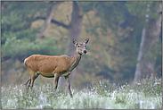 auf der Wildwiese... Rotwild *Cervus elaphus*
