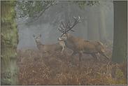 im Wald... Rotwild *Cervus elaphus*