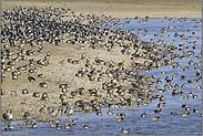 jede Menge Entenvögel... Wintergäste *Bislicher Insel*