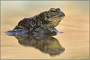 ein wenig plump... Erdkröte *Bufo bufo*