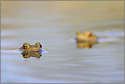 zur Laichzeit... Erdkröten *Bufo bufo*