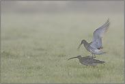 Hoffnung... Große Brachvögel *Numenius arquata*