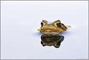 mit großen Augen... Erdkröte *Bufo bufo*
