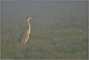Sonnenaufgang im Nebel... Graureiher *Ardea cinerea*