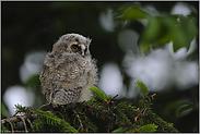 das Nesthäkchen... Waldohreulenästling *Asio otus*