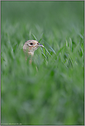 ein kurzer Blick... Fasan *Phasianus colchicus*