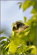 mit großen Augen... Waldohreulenästling *Asio otus*