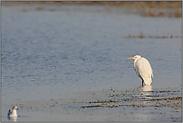 Winterrast... Silberreiher *Casmeriodus albus*