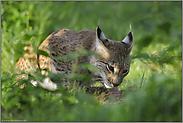 Beutespektrum... Eurasischer Luchs *Lynx lynx*