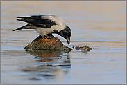 Durst... Nebelkrähe *Corvus cornix*