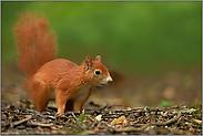 Pumuckel... Europäisches Eichhörnchen *Sciurus vulgaris*