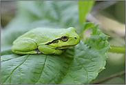 ganz in grün... Europäischer Laubfrosch *Hyla arborea*