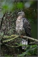 oben im Baum... Wespenbussard *Pernis apivorus *
