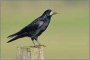 blau schillerndes Gefieder... Saatkraehe *Corvus frugilegus*