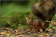Pinselohren... Eichhörnchen *Sciurus vulgaris*