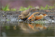 Wasser schöpfend...  Fichtenkreuzschnäbel *Loxia curvirostra*