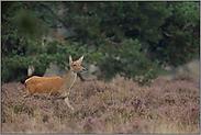 in der Heide... Rotwild *Cervus elaphus*