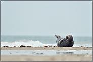 Urlaub an der Nordsee... Kegelrobbe *Halichoerus grypus*