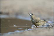 Wasser schöpfend... Kiefernkreuzschnabel *Loxia pytyopsittacus*