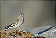 Alpenbewohner... Schneesperling *Montifringilla nivalis*