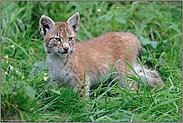 kritischer Blick... Eurasischer Luchs *Lynx lynx*
