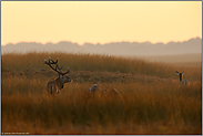 zum Sonnenuntergang... Rotwild *Cervus elaphus*