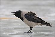 schimpfend... Nebelkrähe *Corvus cornix*