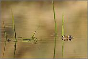 golden... Erdkröte *Bufo bufo*