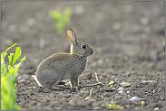kleine Racker... Wildkaninchen *Oryctolagus cuniculus*
