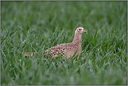 die Henne... Jagdfasan *Phasianus colchicus*
