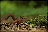 ganz schön flink... Europäisches Eichhörnchen *Sciurus vulgaris*