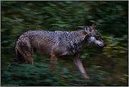 meilenweit... Grauer Wolf *Canis lupus*